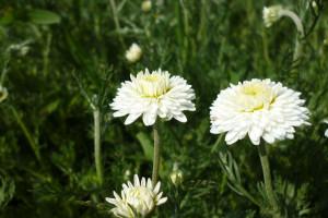 Снимка номер 2 за Предлагам разсад и семена римска лайка